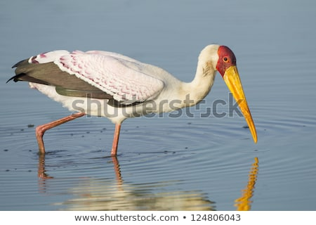 Yellow-billed stork fishing in the Kruger. Stock photo © simoneeman