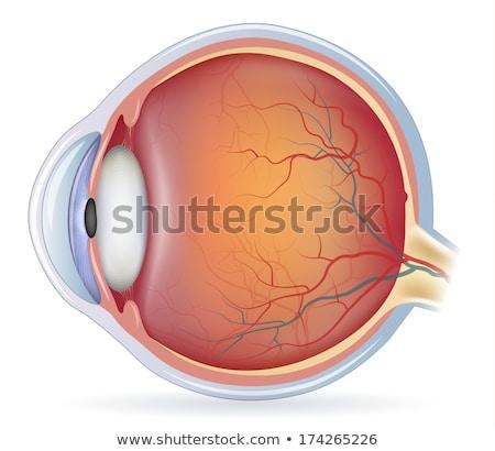 Normal ojo anatomía hermosa colorido Foto stock © Tefi