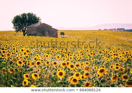 Veld bloei zonnebloemen boom zomer Stockfoto © Kotenko