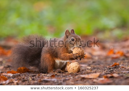 Squirrel eating a nut on tree branch Stock photo © AlessandroZocc