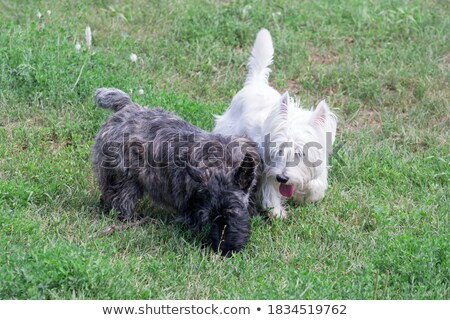 two scottish terrier in kennel Stock photo © cynoclub