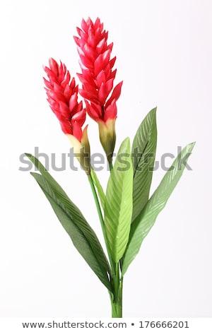 Flor tropical vermelho gengibre vibrante rosa tropical Foto stock © THP