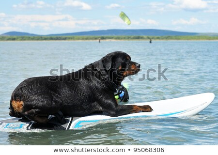 Rottweiler vers le bas chien mer natation Photo stock © cynoclub
