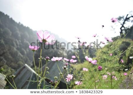 Campo Monte Fuji flores primavera natureza montanha Foto stock © craig