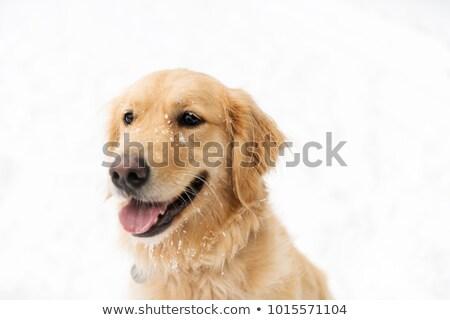 Golden retreiver dog through winter snow season Stock photo © Lopolo