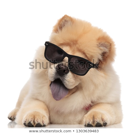 adorable chow chow wearing sunglasse lying with blue tongue expo Stock photo © feedough