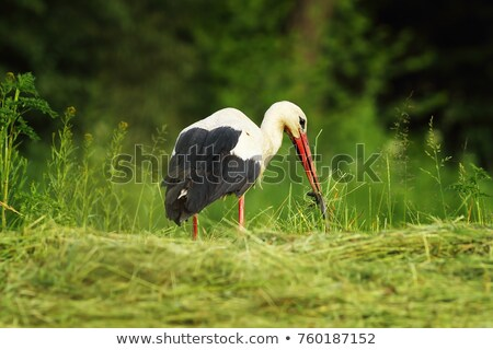 white stork eating slow worm Stock photo © taviphoto