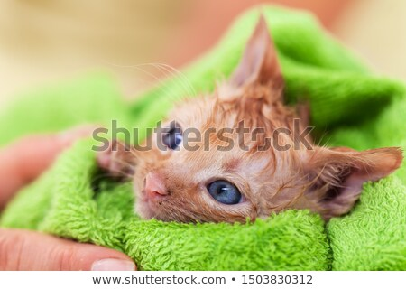 Cute kitten with hope in her eyes dry after bath rolled in a gre Stock photo © ilona75