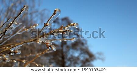 Icy Trees Stock photo © joyr