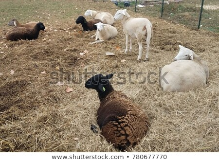 Young lamb laying in hay. stock photo © pixelmemoirs