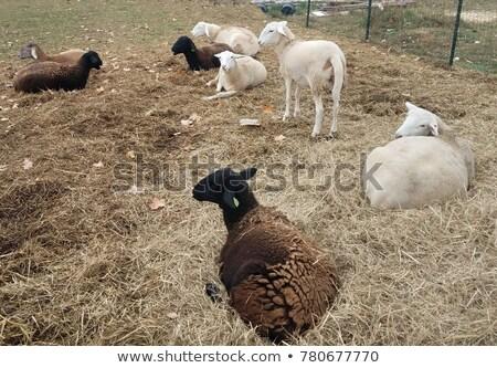Genç kuzu saman Stok fotoğraf © pixelmemoirs