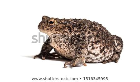 ヒキガエル 座って 位置 孤立した 白 カエル ストックフォト © tdoes
