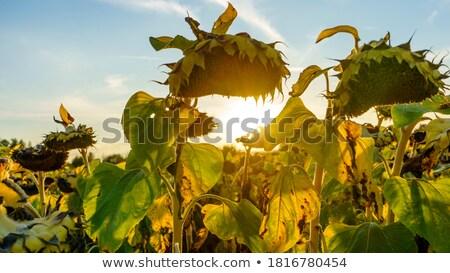 Belo orgânico girassol formiga textura Foto stock © Kuzeytac