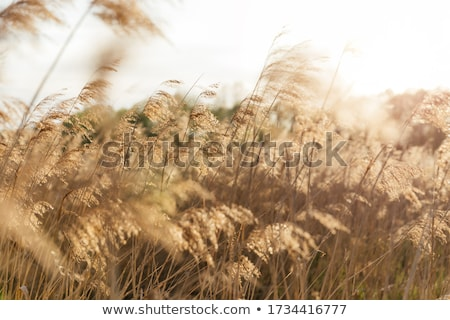 Reeds on a beach Stock photo © photography33