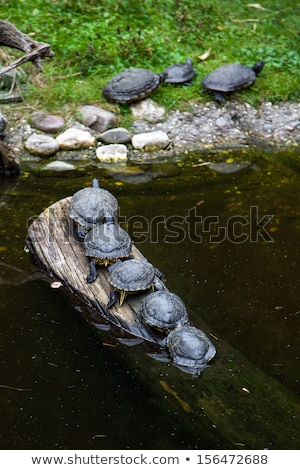 Painted Turtle Standing in a Marsh Stock photo © rhamm