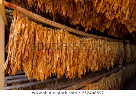 растущий табак классический метод саду фон Сток-фото © kornienko