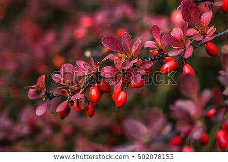 Red Japanese Barberry Berries Stock photo © ca2hill