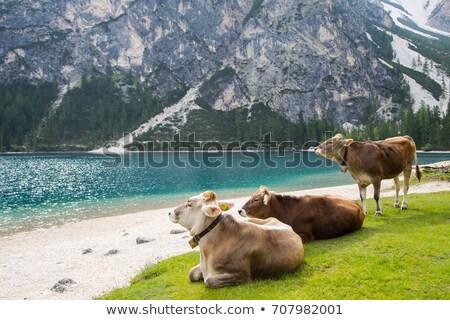 Tehén gyönyörű alpesi testtartás nyár természet Stock fotó © Antonio-S