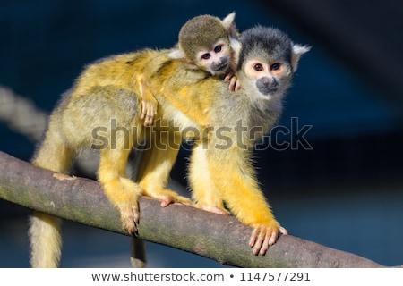 молодые обезьяна назад матери плен голландский Сток-фото © michaklootwijk