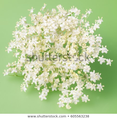 Stock photo: Flower of sureau
