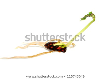 ストックフォト: ランナー · 豆 · シード · 長い · 緑色の葉 · 孤立した