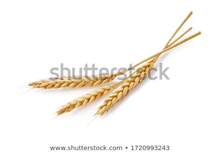 изолированный · пшеницы · ушки · зерна · белый - Сток-фото © leonardi