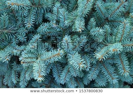 Blau Fichte Zweig Haufen Niederlassungen wenig Stock foto © zhekos