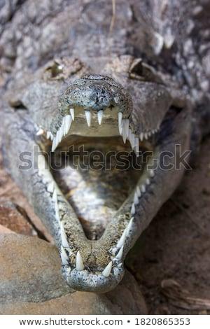 Veszélyes krokodil portré barna homok mosoly Stock fotó © Kirill_M