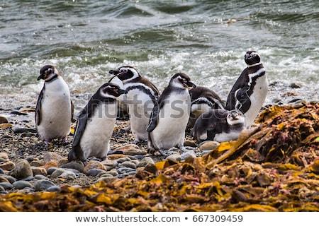 ペンギン 座って 巣 砂 海 羽毛 ストックフォト © franky242