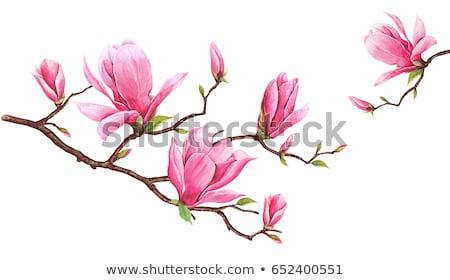 Magnolia fa virág gyönyörű tavasz idő Stock fotó © kasto