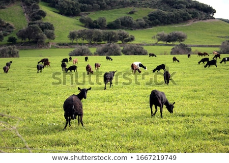black goat in the green grass stock photo © jonnysek