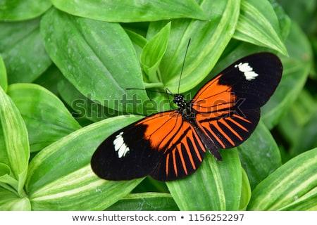 Butterflies on exotic tropical flower, Ecuador Stock photo © xura