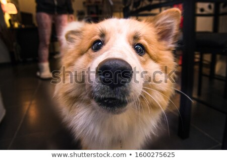 Hond snuit dier neus gezicht Stockfoto © mythja