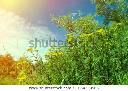 Solucan otu Tanacetm Vulgare Çiçeği Stok fotoğraf © Fanfo