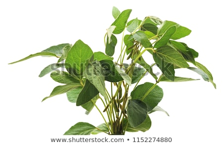 Soybean plant, pods and beans Stock photo © stevanovicigor