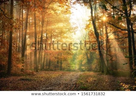 Autumn beech fall forest Stock photo © Fesus
