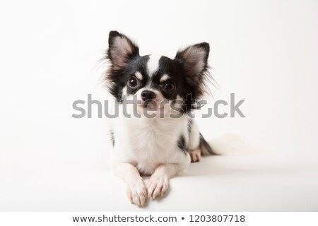 preto · e · branco · cães · sessão · juntos · estúdio · feliz - foto stock © dnf-style