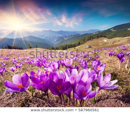 Campo fioritura crocus montagna primavera panorama Foto d'archivio © Kotenko