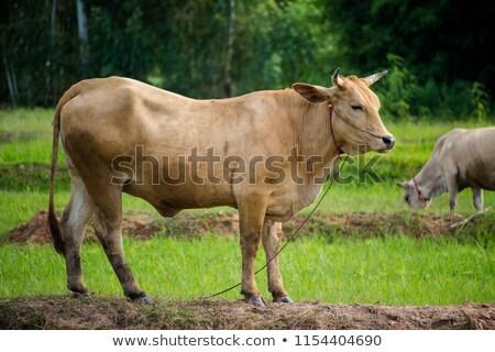 Koe bos witte groene vallen gras Stockfoto © olandsfokus