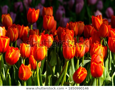 macro image of bright red tulip petals in soft style stock photo © maxpro