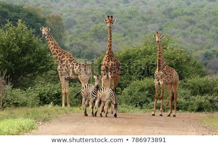 ストックフォト: シマウマ · 徒歩 · 道路 · 公園 · 南アフリカ