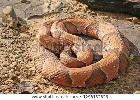 Copperhead snake Stock photo © bluering