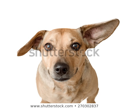 Stock photo: cute little mixed breed dog portrait in white studio