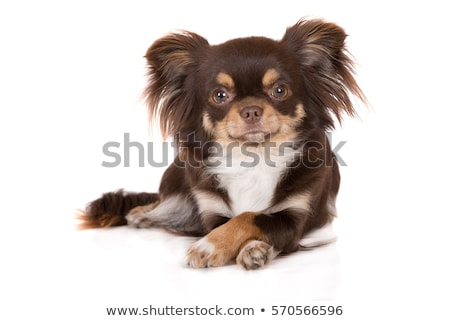 Stock photo: sweet puppy chihuahua portrait in white background studio