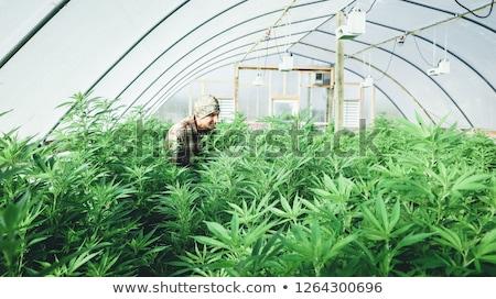 Hennep business marihuana industrie schaduw dollarteken Stockfoto © Lightsource