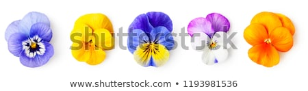 Bunch of viola Stock photo © simply