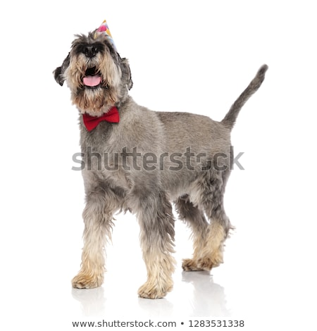 curious schnauzer wearing red bowtie looks up to side Stock photo © feedough