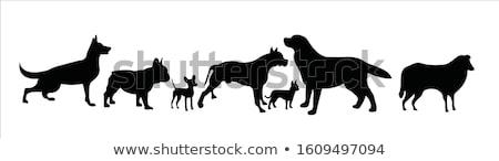 kutyakölyök · rottweiler · fehér · kutyák · fiatal · stúdió - stock fotó © cynoclub