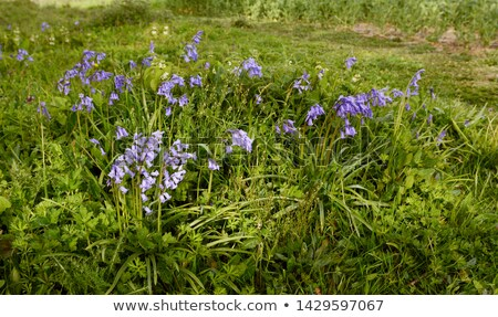 patch of common bluebells growing in springtime stock photo © sarahdoow