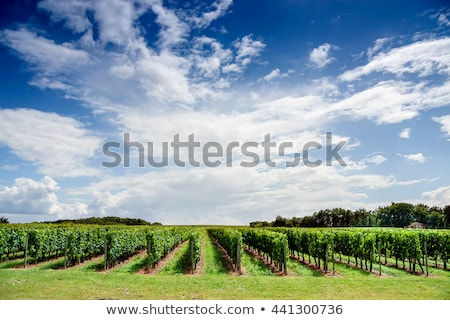 cut blue grape in bordeaux region aquitaine france stock photo © phbcz